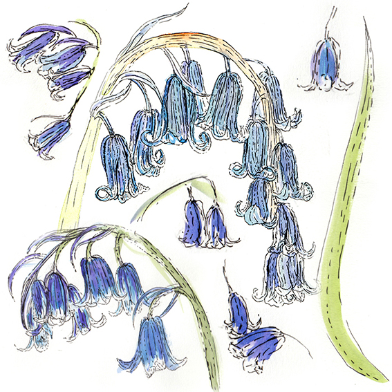 Bluebells by Ella Johnston