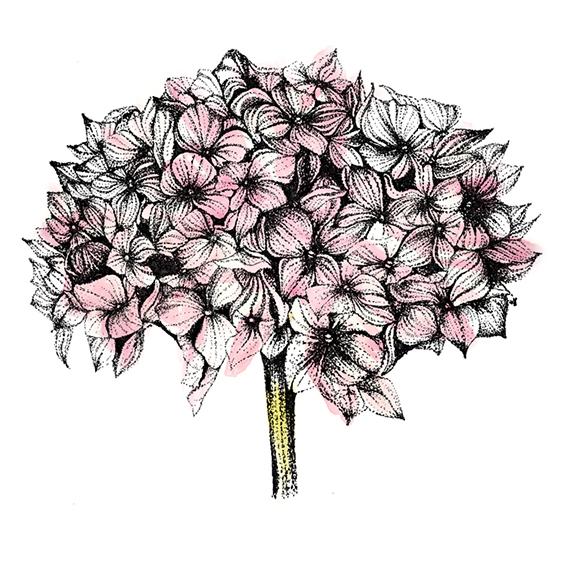Hydrangea (c) Ella Johnston