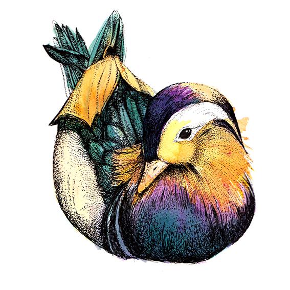 mandarin duck (c) Ella Johnston