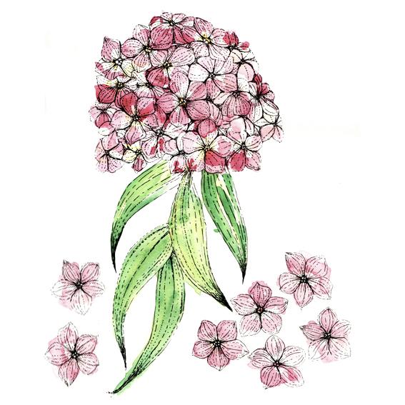 Phlox flowers (c) Ella Johnston