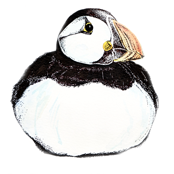 Puffin illustration (c) Ella Johnston