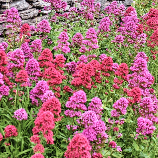 Red valerian at Berry Head 2 PINK LO RES