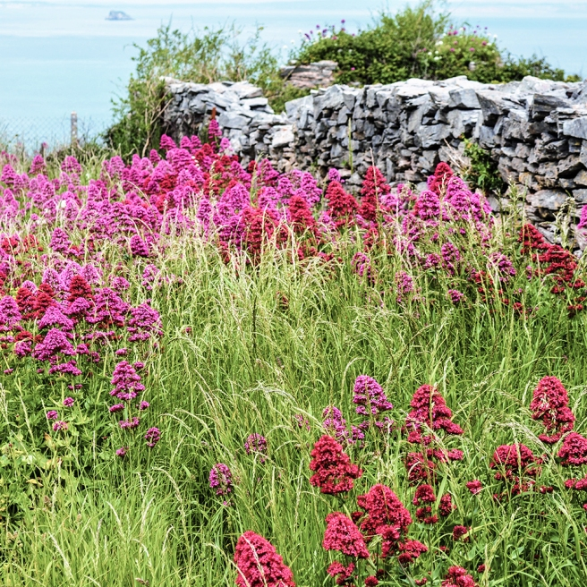 Red valerian at Berry Head PINK LO RES