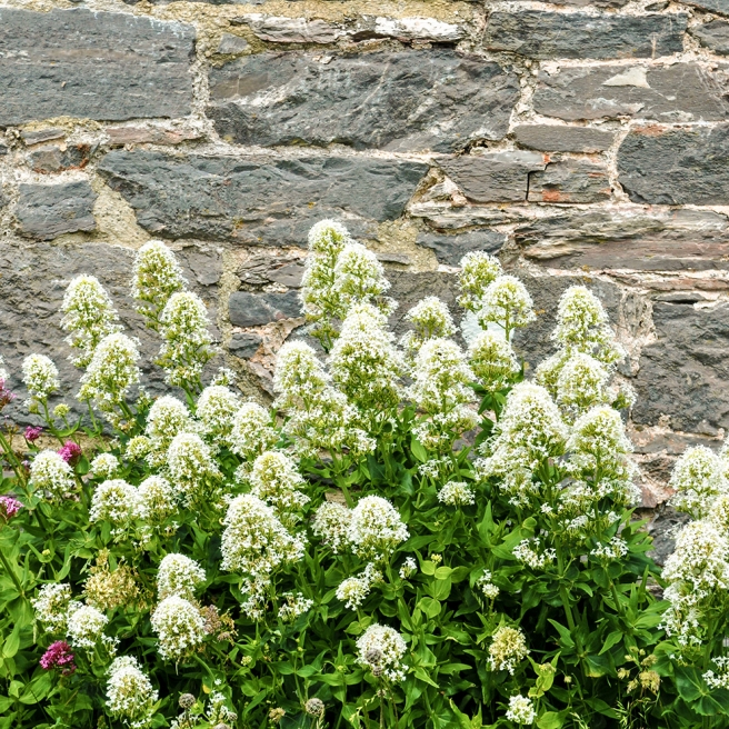 White valerian at Berry Head WHITE LO RES