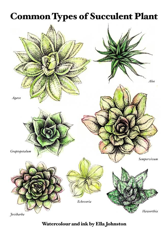 Ella Johnston #drawings of #succulent #plants at http://www.ellasplace.me